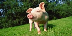 Piggy in the sun