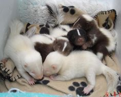 Baby Skunks - the white and brown babies mark these out as 'pet' skunks bred for these unusual colours, not wild skunks Cute Baby Animals, Animals And Pets, Funny Animals, Baby Skunks, Animal Decor, Animal Nursery, Cute Creatures, Fauna, Exotic Pets