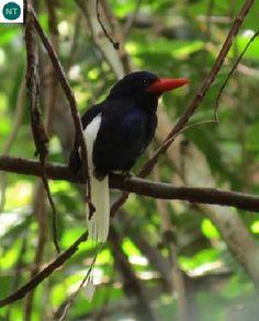 https://www.facebook.com/WonderBirds-171150349611448/ Bói cá thiên đường loài đặc hữu đảo Numfor, Indonesia; Họ Bói cá cây-Halcyonidae (tree kingfisher) || Numfor paradise kingfisher (Tanysiptera carolinae) IUCN Red List of Threatened Species 3.1 : Near Threated (NT)(Loài sắp bị đe dọa)