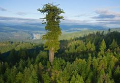 Redwood trees are the tallest living organisms known. The tallest one, called Hyperion, is located in Northern California and measures 380 feet. The largest known living thing is actually a fungus, the honey mushroom. The largest example of one in Oregon stretches 3.5 miles long, and extends one meter into the ground.