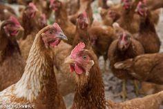 Chicken Free Range