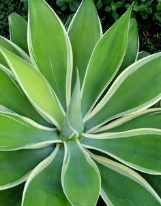 Agave attenuata 'Ray of Light' | danger garden: other people's gardens