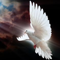 Dove - ☮ Peace Bird ☮️ Dove Images, Dove Pictures, Photo Background Images, Photo Backgrounds, Love Birds, Beautiful Birds, Peace Dove Tattoos, Peace Bird, Cute Love Images