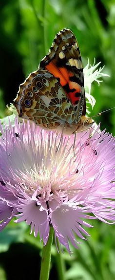 103. Red Admiral butterfly (Vanessa atalanta)