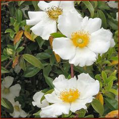 Cherokee Rose Cherokee Rose is a beautiful and easy rose for the south, where it graces gardens with very fragrant white flowers in spring. The glossy, evergreen foliage is also highly disease resistant.