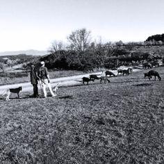"""Pastoreig de cabres"" a la Partida del Reguer. L'Espluga de Francolí"