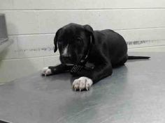 07/18/2016 SUPER URGENT PUPPY ALERT - TO BE DESTROYED - ADOPT This PUPPY DOG - ID#A463434 - located at Harris County Animal Shelter in Houston, Texas - black and white Male Pit Bull Terrier mix breed - at the shelter since July 08, 2016. Age unknown but only months old.