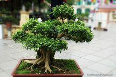 bonsai-11