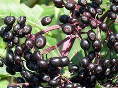 American black elderberry fruit images wallpaper
