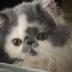 Kissy face kitten #kiss #kitten #instacats #instacute #persiancat #persian_feature #kittensofinstagram #tagsforlikes #blue #catsagram #catstagram #instalikes #kittylove