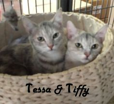 Hello there! We are Tessa and Tiffy and we are the MOST... adorable and very soft kittens you will ever meet!! Our fur is silky, almost blue! As you can see we are ready to go! We are waiting for you in the Big Bird Cage at San Mateo Pet Supply. We are hoping to begin our new life and find our very own forever home soon!   If you are interested in adopting these cats or any other one listed here please call 877-307-2747 or email adopt@whis-purr.org