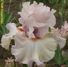tall bearded iris 'peacekeeper'