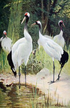 Kuhnert, Friedrich Wilhelm (1865-1926) - Wild Life of the World 1916 v.2 (Manghurian Crane). #vintage, #animals, #grus japonensis