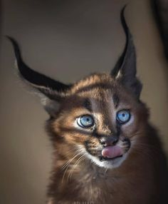 Adorable caracal Photo by Tag an animal lover – All Pictures Wildlife Nature, Nature Animals, Animals And Pets, Cute Animals, Wild Animals, Nature Nature, Wild Life, Wildlife Photography, Animal Photography
