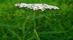 L'achillée millefeuille au potager bio | Conseils Jardinage Bio