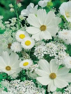 White flowers: Cosmos, Baby's breath, Daisy?