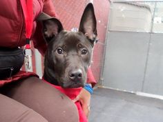 TO BE DESTROYED - 01/11/15 Manhattan Center   My name is WEADACK. My Animal ID # is A1023883. I am a neutered male black and white american staff and labrador retr mix. The shelter thinks I am about 1 YEAR 1 MONTH old.  I came in the shelter as a STRAY on 12/23/2014 from NY 10465, owner surrender reason stated was STRAY.