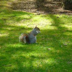 Un écureuil dans le parc, Edimbourg 2010