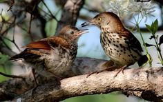 Brown Thrasher parent and fledgling. Photo by Elizabeth McWilliams, prize winner in our Home Tweet Home photo contest.