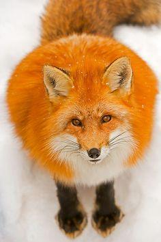 Beautiful red fox