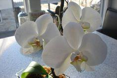 Ebbe ültette ki az orchideáját, káprázatos fejlődésnek indult, folyamatosan hozza a virágokat! Orchids, Plants, Gardening, Flowers, Garten, Lilies, Planters, Lawn And Garden, Garden