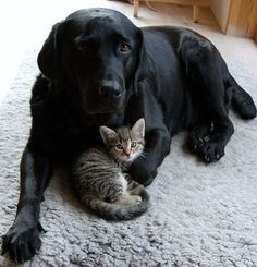 Lab love - lovely black lab cuddling up to a beautiful tabby kitten