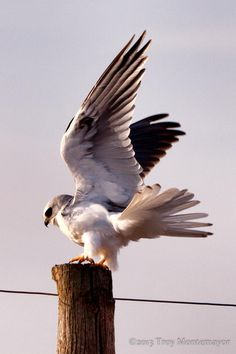 White-tailed Kite, Central Valley, CA by Troy Montemayor on 500px