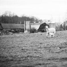 A Katahdin ewe feeding her lambs. . . . . . . #nyfarms #farmtotable #westwindacres #artisanmeat #grassfedbeef #pastureraisedpork #grassfedlamb #meatCSA #meatsubscription #meat #healthymeats #natural #nonGMO #healthy #healthyfood #foodporn #foodgasm #instagood #delicious #GMOfree #farm #countrylife #healthysaratoga #countryliving #saratogasprings #enjoytroy #keepalbanyboring #eatlocal #farmlove #farmer @west_wind_acres @nicolenerostudio