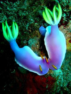 Nudibranche - Nudibranch
