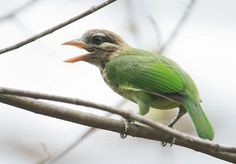 White-cheeked Barbet