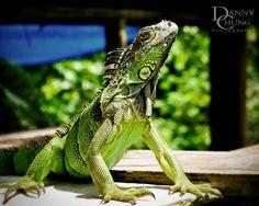 Green Iguana, Belize. Iguana Pushups! #belizetours #belizeadventure #belizenature