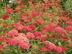 Achillea Paprika, Yarrow Paprika, Achillea Millefolium Paprika, summer flowering perennial, drought tolerant perennial, red flowering perennial