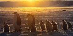 Des manchots Empereur en Antarctique. (Konrad Wothe / Minden Pictures / Biosphoto)
