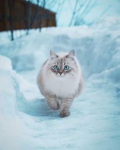 """- Cats Make You Smile """"A Winter Walk"""" (""""The Beauty with the icy-blue eyes"""") ? Cats Make You Smile - Johnny Barwick - Cute Cats And Kittens, Baby Cats, Cool Cats, Kittens Cutest, Ragdoll Kittens, Funny Kittens, Bengal Cats, White Kittens, Pretty Cats"""