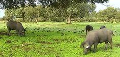 Cerdos ibéricos de Montánchez
