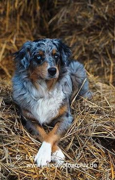 Aussie & My Cooper & My Chipper both cross their legs just like this! Australian Shepherd Source by The post Australian Shepherd appeared first on Welch Puppies. Australian Shepherds, Aussie Shepherd, Australian Shepherd Puppies, Aussie Puppies, Dogs And Puppies, Blue Merle Australian Shepherd, Doggies, Corgi Puppies, Big Dogs