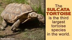 The sulcata tortoise dwells in hot arid regions and so has unique dietary requirements. This PetPonder article tells you all you need to know about this unique pet's diet. Tortoise Food, Sulcata Tortoise, Tortoise Care, Giant Tortoise, Turtle Enclosure, Taking Care Of Baby, Bermuda Grass, Reptile Habitat, Thick Skin