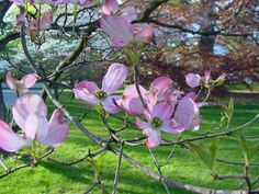 Beautiful Dogwood..Fairfield, CT.