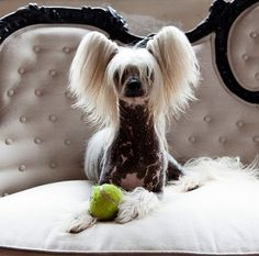 Chinese Crested Hairless Puppy Dogs Pups Puppies Dog