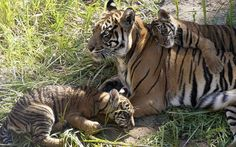 San Diego Zoo's Sumatran tiger cubs, Conrad, right, and Thomas, lower left, napping on their mother, Delta