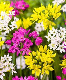 The pretty, delicate-looking blooms of this Allium Bulbs Mix are perfect covering all the color you need. These beautiful allium bulbs is a multicolored mix of bright pinks, whites and yellows. Buy Allium Bulbs at wholesale pricing with DutchGrown. Planting Bulbs, Planting Flowers, Flower Plants, Light Bulb Plant, Onion Flower, Bulbous Plants, Pot Plante, Spring Bulbs, Fall Plants