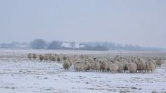 Monday Random Sheep Fact.  Sheep have a much warmer body temperature than we have. It's between 38.6°C and 39.16°C. They're naturally prepared to handle being outdoors.