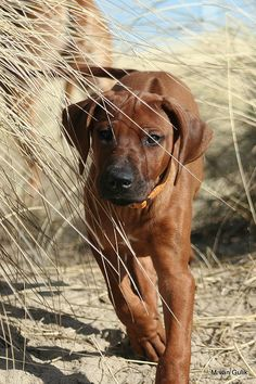Rhodesian Ridgeback We used to have one, a beautiful dog but very naughty!!!