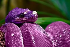 another pretty purple snake! Pretty Snakes, Beautiful Snakes, Beautiful Things, Purple Snake, Purple Rain, Beautiful Creatures, Animals Beautiful, Cute Animals, Types Of Snake
