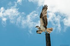 Osprey takes off - Curacao
