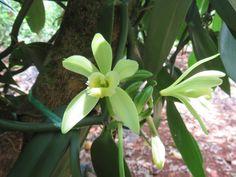 Vanille en fleurs ! Slow Travel, Mauritius, Agriculture, Plants, Gardens, Sustainable Tourism, Tropical Garden, Vanilla, Flowers