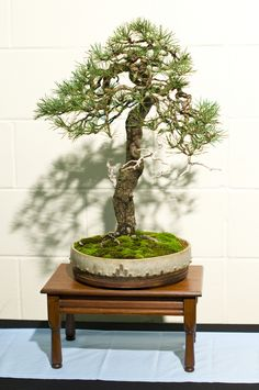 Scots Pine (Pinus Silvestris) Bonsai Tree at Don Valley Bonsai Roadshow, Sheffield | by Steve Greaves