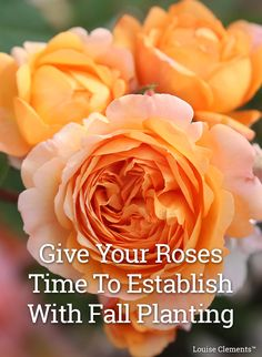 Browse our selection of roses and find the perfect rose to add to your garden this fall. Flowers Nature, Exotic Flowers, Flower Sketch Images, Frank Costello, Rose Cuttings, Peace Rose, Amazing Husband, Rose Care, Heirloom Roses