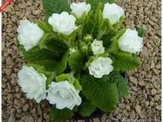 Primula DAWN ANSELL