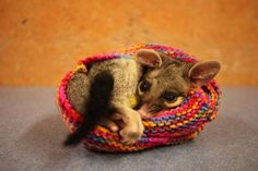 This is Samson, a common brush-tailed possum. He's snuggling up inside of one of Unitywater's hand-knitted pouches while he recovers from a punctured lung sustained during a dog attack.